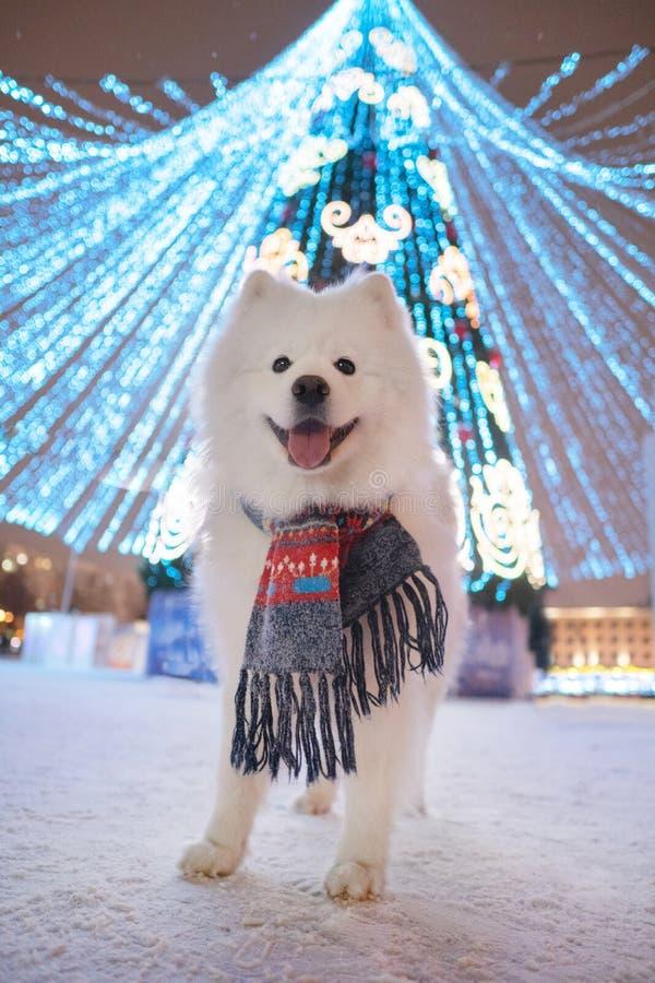 Christmas tree and Samoyed dog royalty free stock images