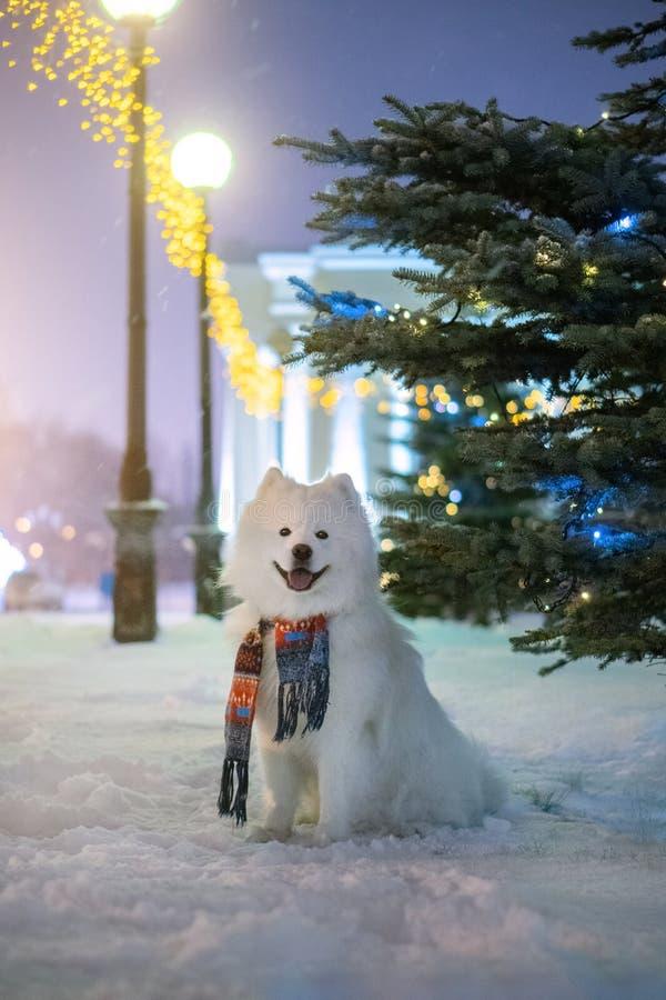 Christmas tree and Samoyed dog stock images