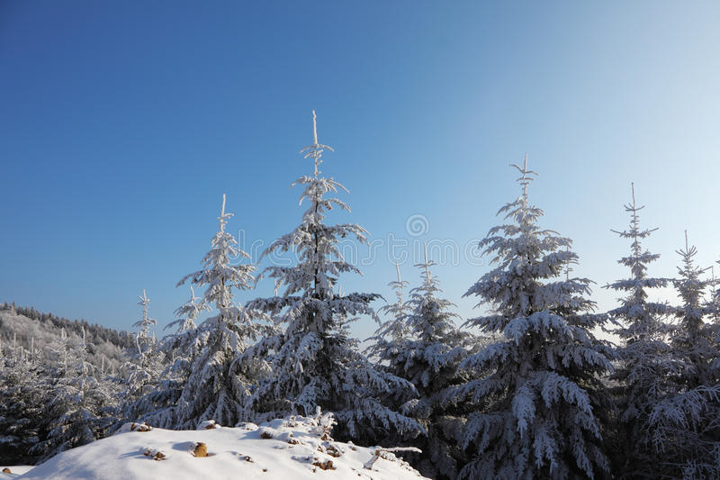 Christmas tree in snow in the sun royalty free stock photography