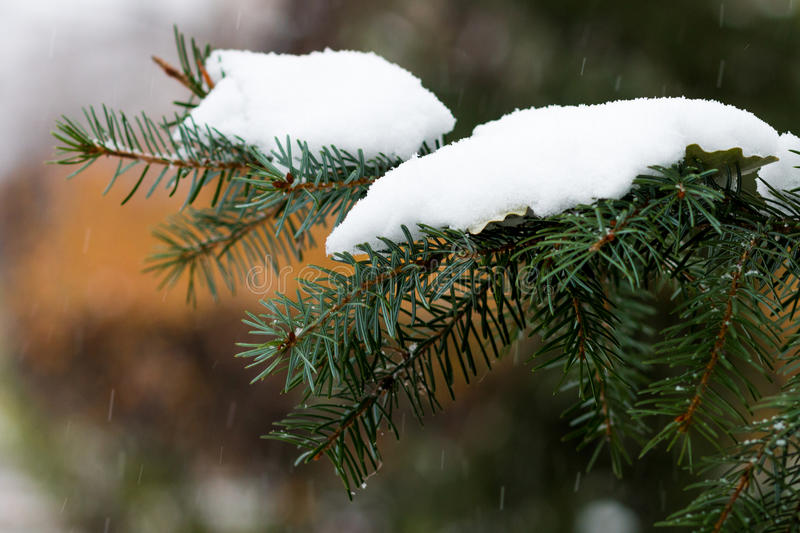 Christmas tree under the first snow royalty free stock photo