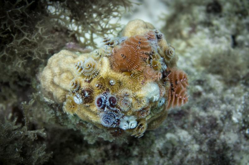 Christmas tree worms forest coral stock photos