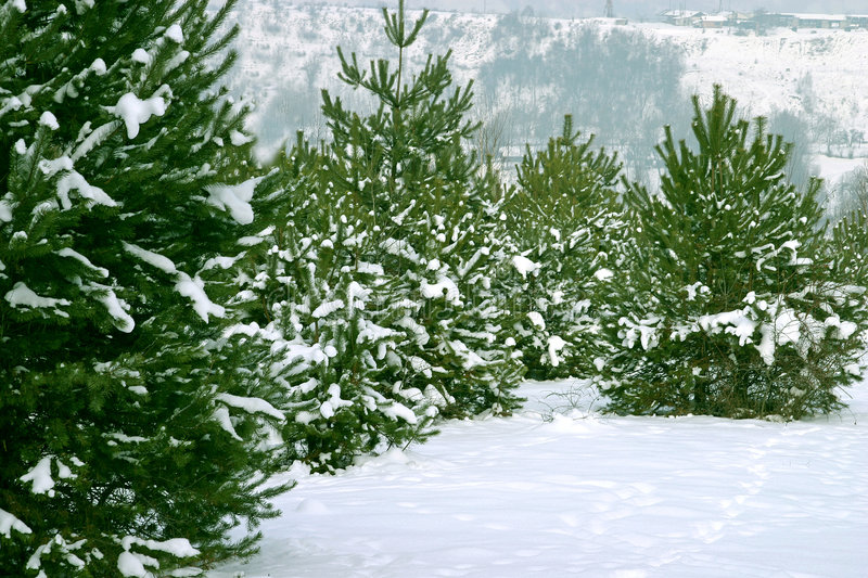 Christmas Trees 1 royalty free stock images