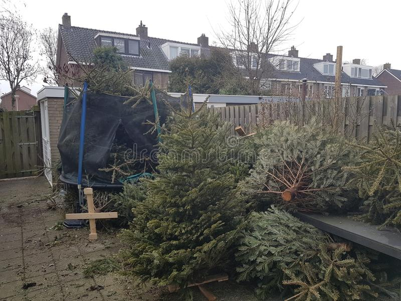 Christmas trees collected in back garden to collect money per christmas tree royalty free stock images