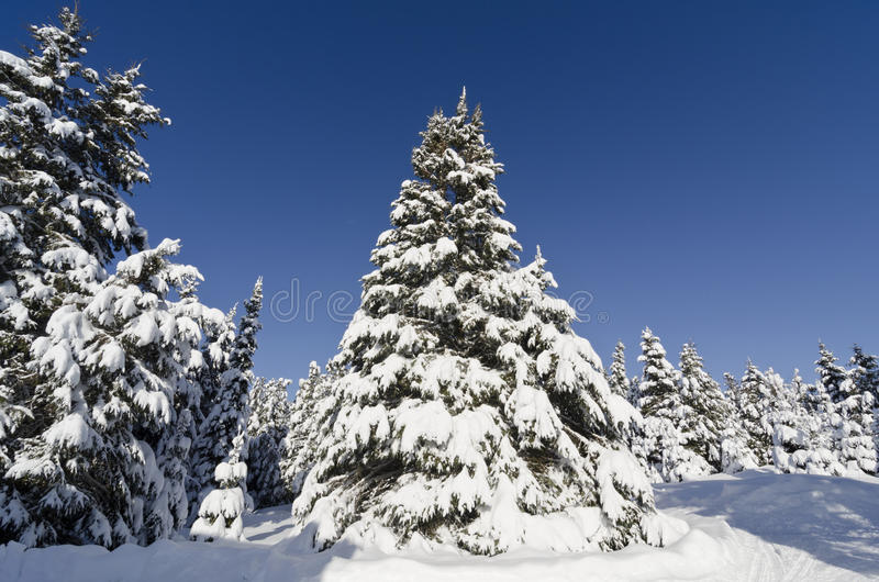Download Christmas Trees Covered With Snow Stock Photo - Image of travel, snowfall: 28452614