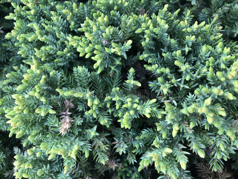 Christmas trees. Decorative garden into shape. Evergreen tree background. Cypress, plant, texture, leaf, pattern, pine, decoration, environment, flora stock photography