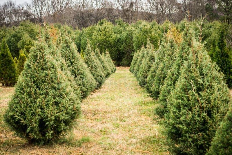 Christmas Tree Farm Arizona.Looking Down A Row Of Christmas Trees Stock Photo Image Of