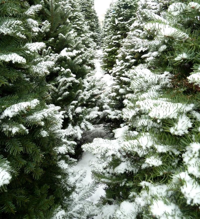 Green Christmas trees with fresh snow stock photography