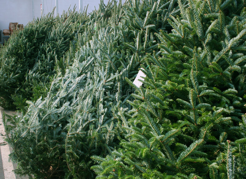 Download Christmas trees for sale stock image. Image of pine, bound - 1540801