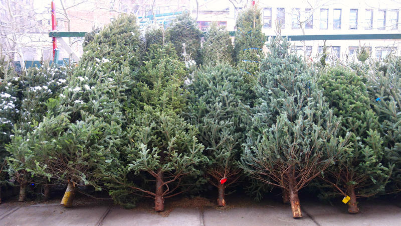 Christmas Trees. For sale in New York City royalty free stock images