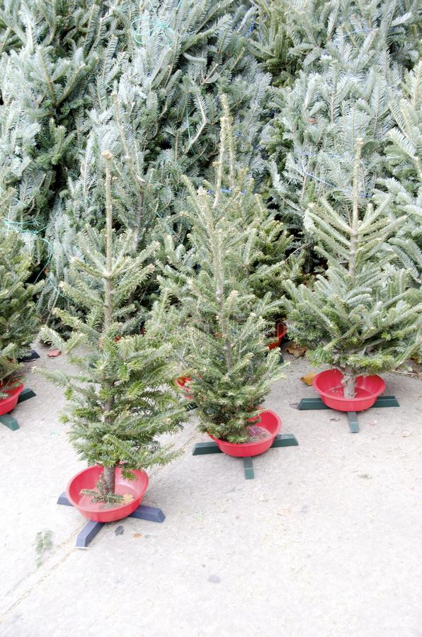 Christmas Trees. Small Christmas trees for sale with stands suitable for table tops royalty free stock photo