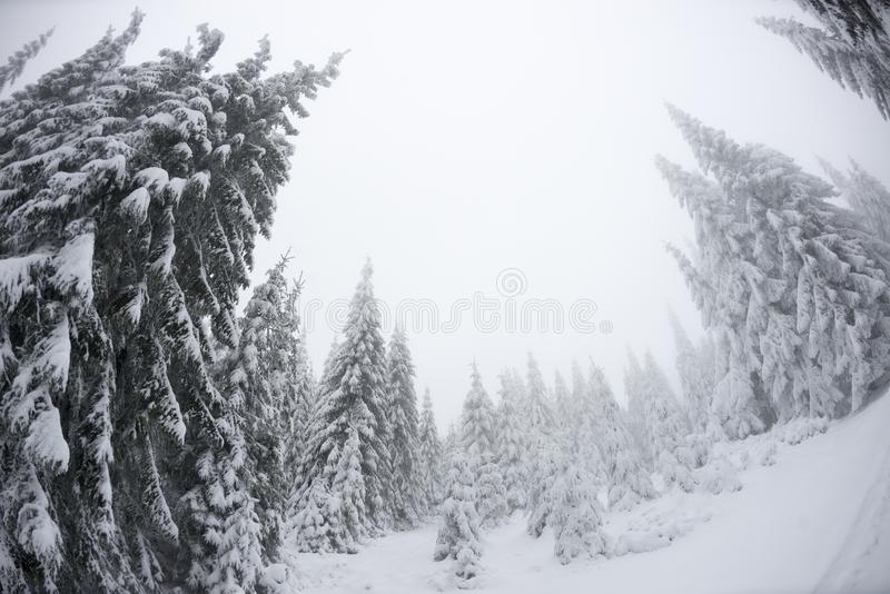 Christmas trees standing tall in winter stock photo