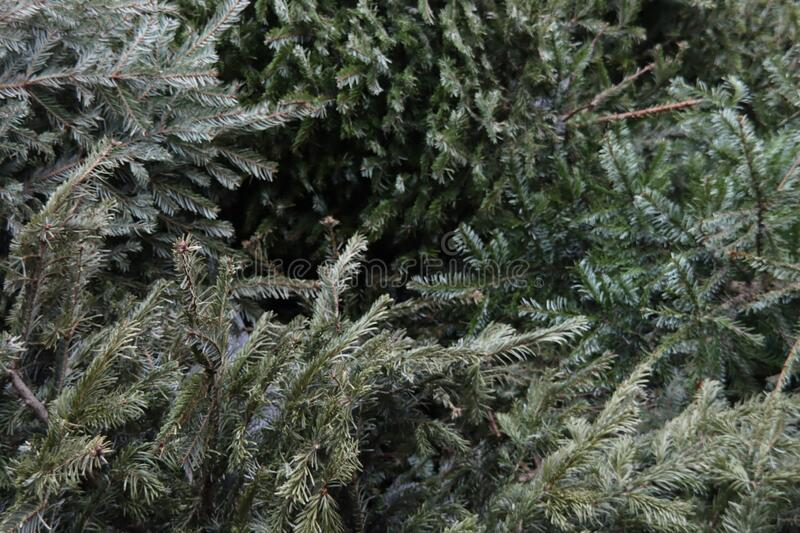 Christmas trees waiting for mechanical destruction after children brougth it to the municipality stock photography