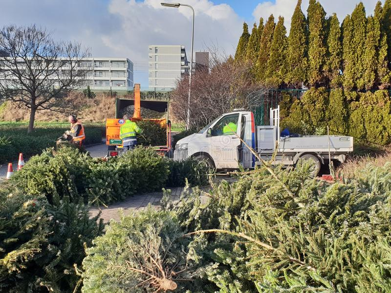 Christmas trees were collected by the municipality for environment shredding. Children get paid 50 eurocent per tree royalty free stock photo