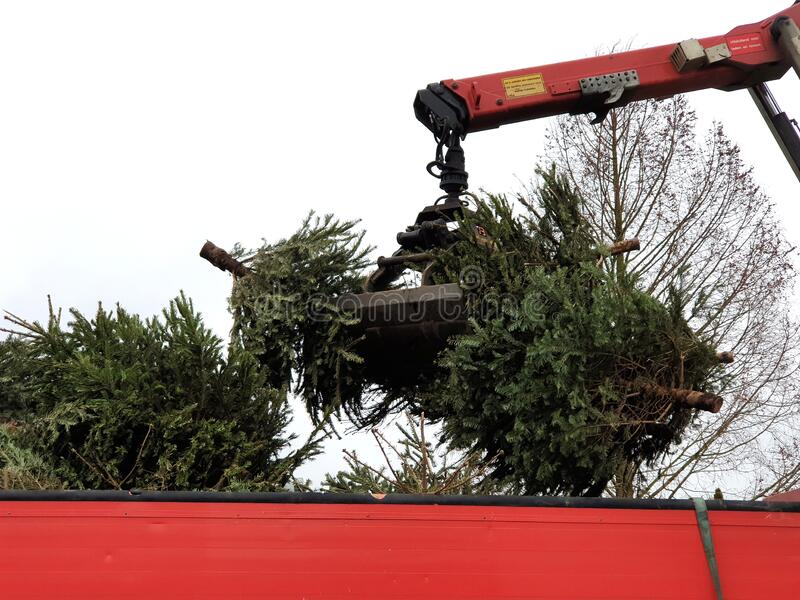 Christmas trees were taken away for sustainable destruction after collecting them from children for money in the Netherlands stock photo