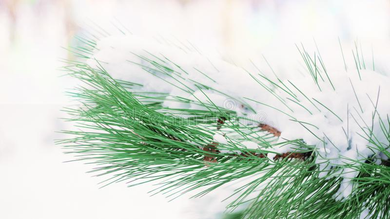 Christmas winter background. Fir tree branch covered with snow in winter day. The branches of the snow covered green Christmas tree in the forest, park stock photos