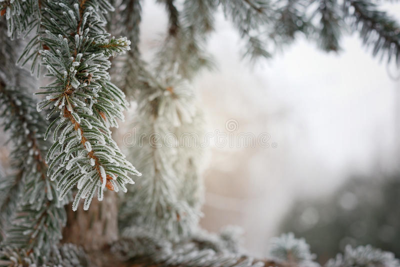 Christmas, winter background with frosty pine tree. Macro shot stock photography