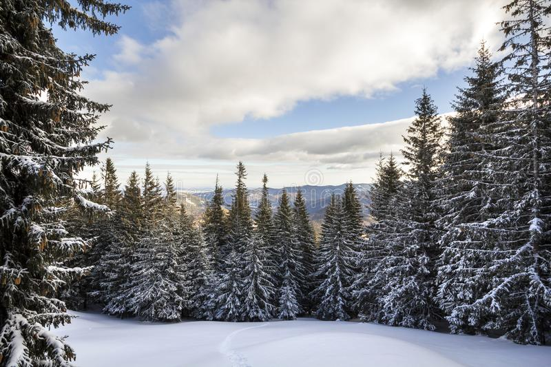 Christmas winter landscape. Beautiful tall fir trees covered wit stock images