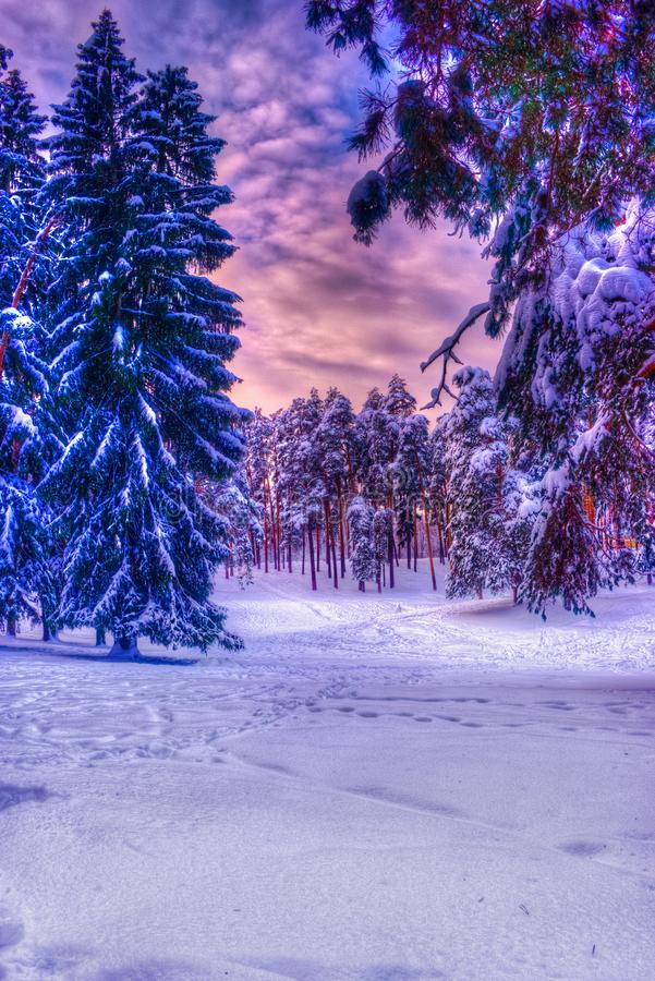 Christmas winter landscape, spruce and pine trees covered in snow royalty free stock photos