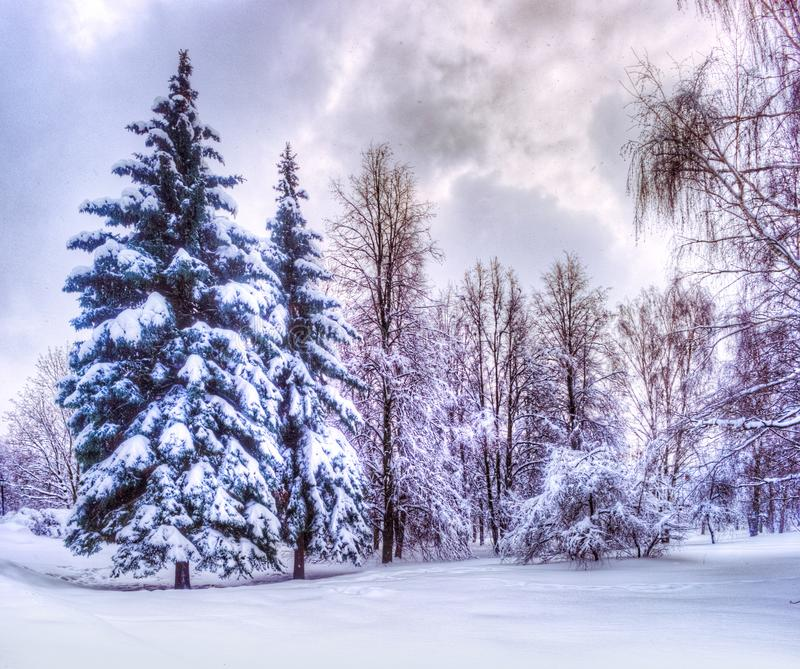 Christmas winter landscape, spruce and pine trees covered in snow royalty free stock photography