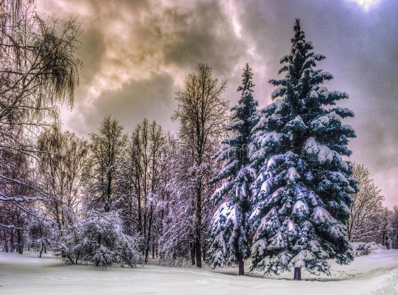 Christmas winter landscape, spruce and pine trees covered in snow royalty free stock image