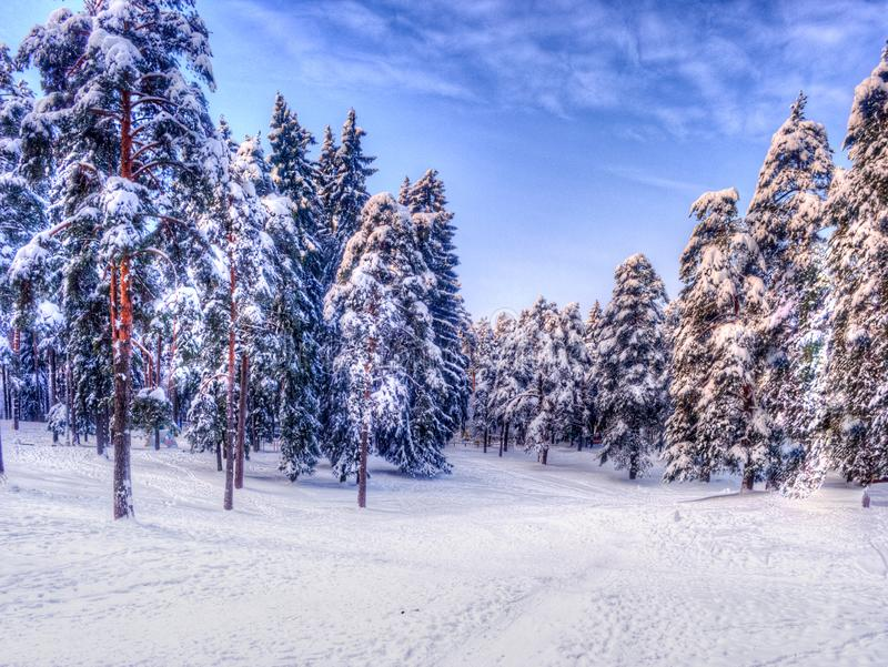 Christmas winter landscape, spruce and pine trees covered in snow stock images