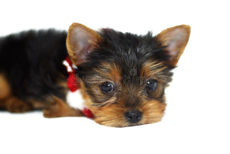Download Christmas Yorkie stock image. Image of yorkie, baby, terrier - 1593459