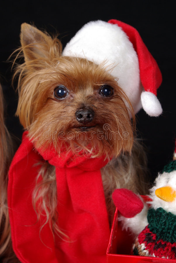 Christmas Yorkshire dog. Yorkshire-Terrier dressed up for Christmas stock photography