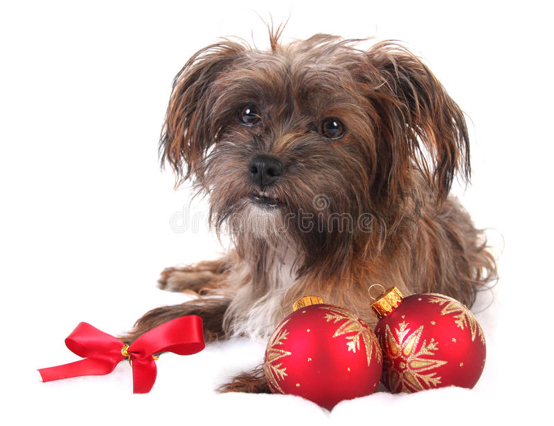 Christmas yorkshire dog. Over white background royalty free stock photography
