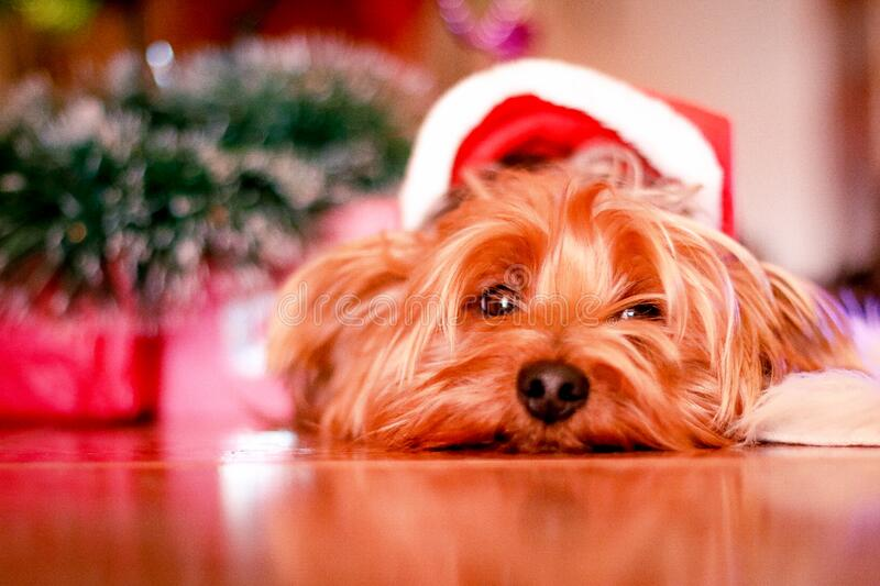 Christmas yorkshire dog royalty free stock images