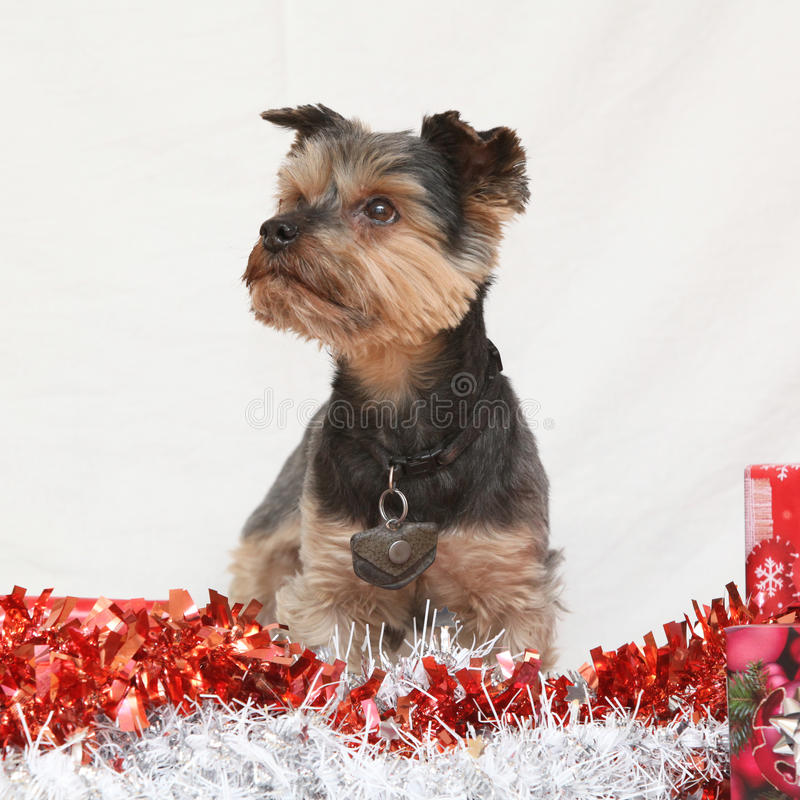 Christmas Yorkshire terrier. Nice Christmas Yorkshire terrier on white background royalty free stock image