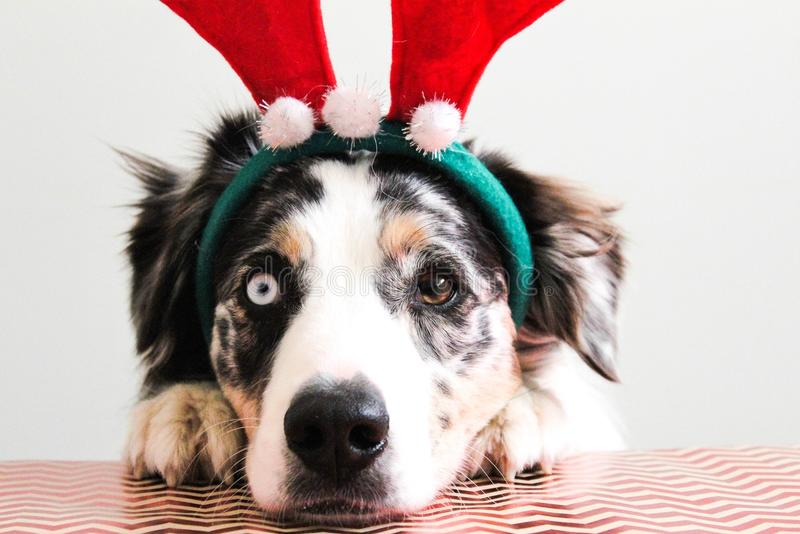 Christmasdog royalty free stock photo