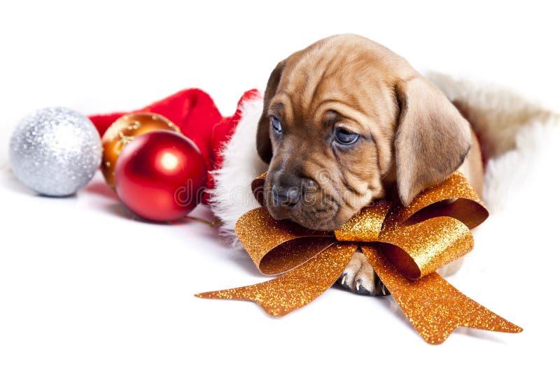 christmass小狗愉快的年轻人 库存照片