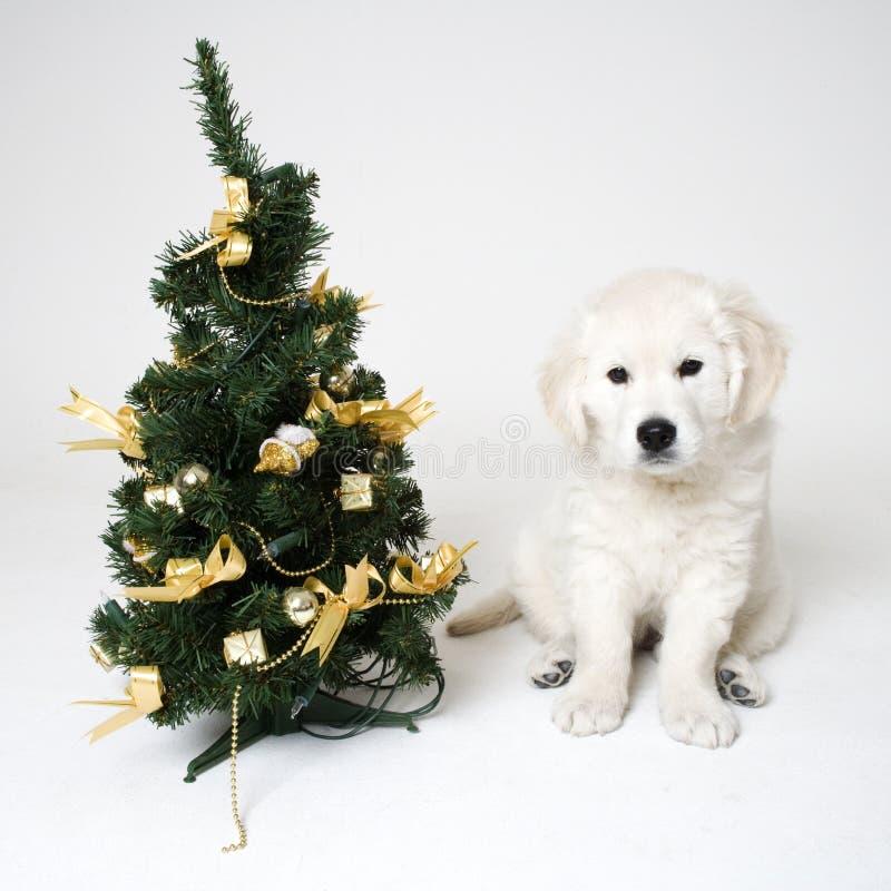 Christmass puppy stock photos
