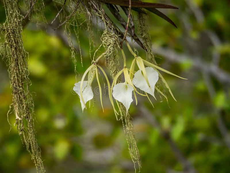 Christoffel National park - white orchid stock photos