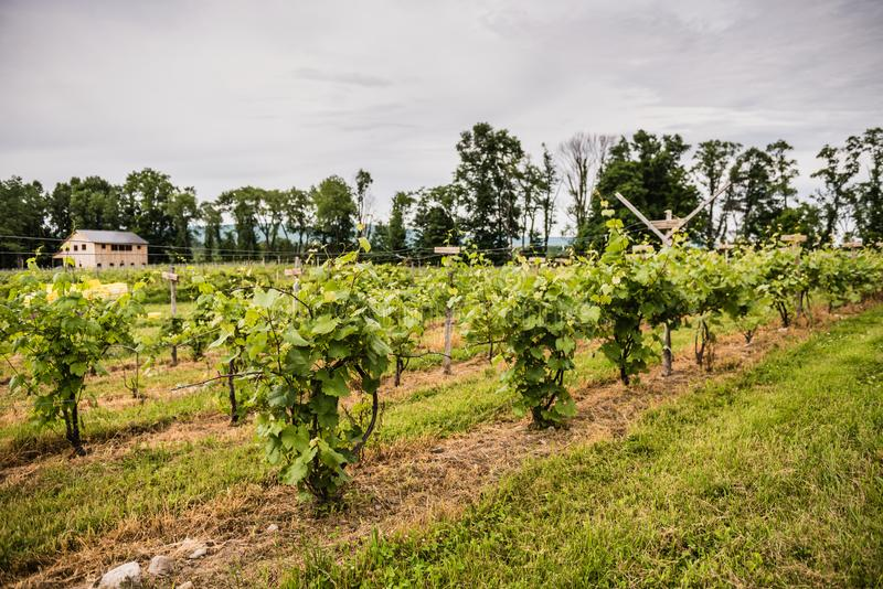 Christopher Jacobs Vineyard Grape Vines. Pine Bush, NY /USA - June 9, 2018: grape vines and barn in background royalty free stock images