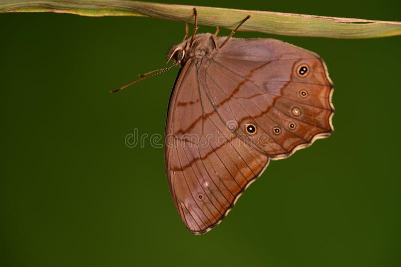 Christophi de papillon/Lethe photo libre de droits