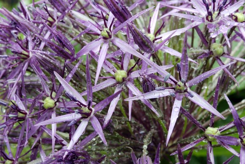 Christophii do Allium fotos de stock royalty free