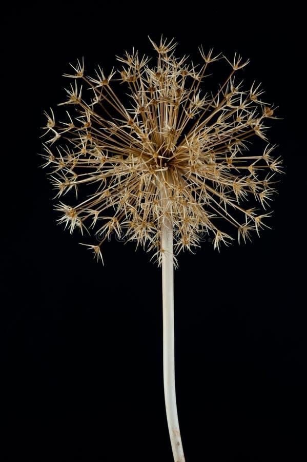 Christophii van het allium seedhead stock afbeeldingen