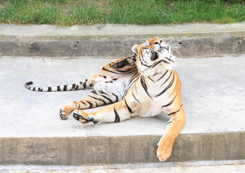 Chrobotliwy tygrys zdjęcie royalty free