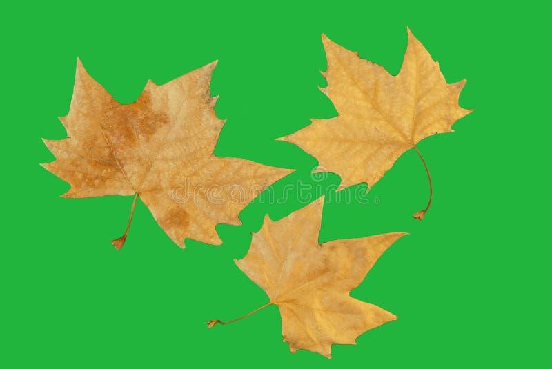 Chromakey av tre höstsidor av träd fotografering för bildbyråer