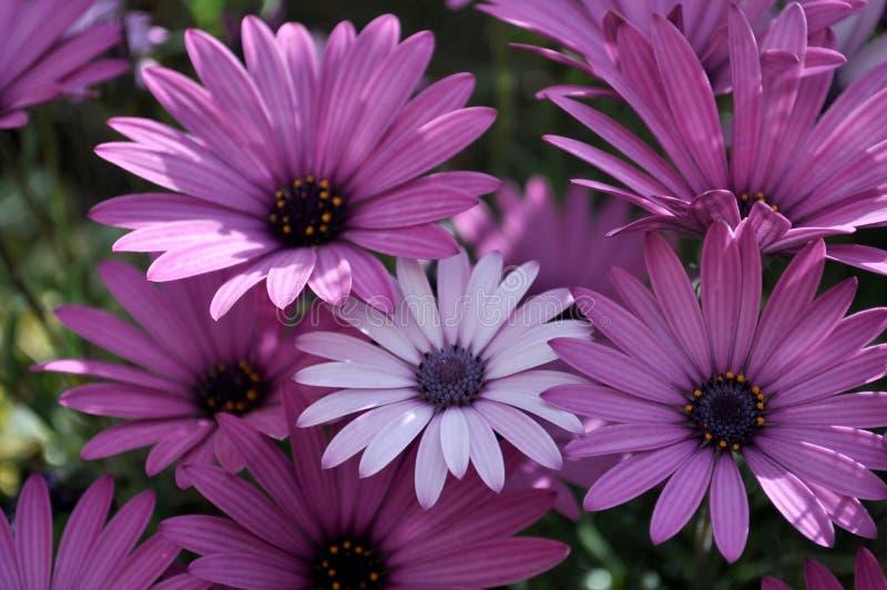 Chromatic daisy anomaly stock photo