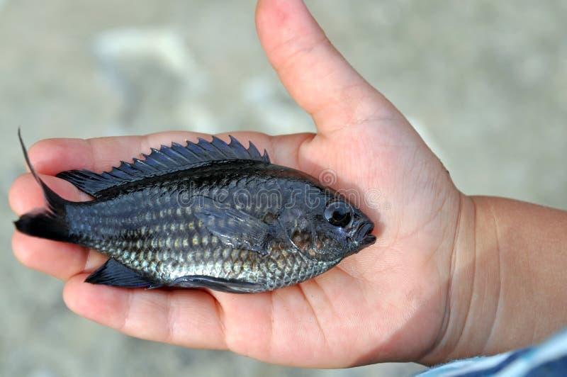 Chromis Pescados raros de Ucrania imágenes de archivo libres de regalías