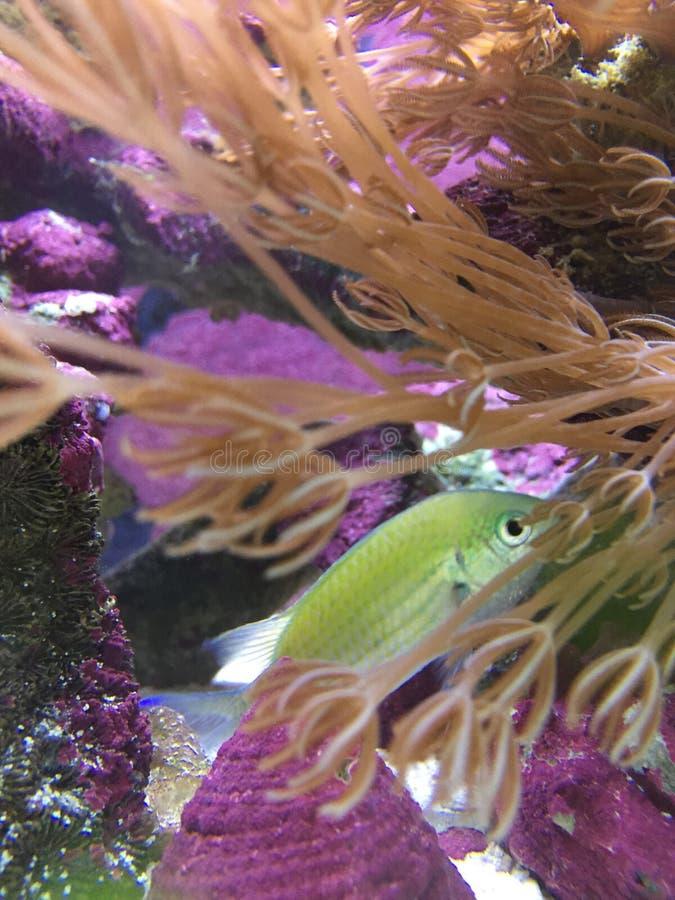 Chromis Viridis στο μαλακό κοράλλι στοκ φωτογραφίες