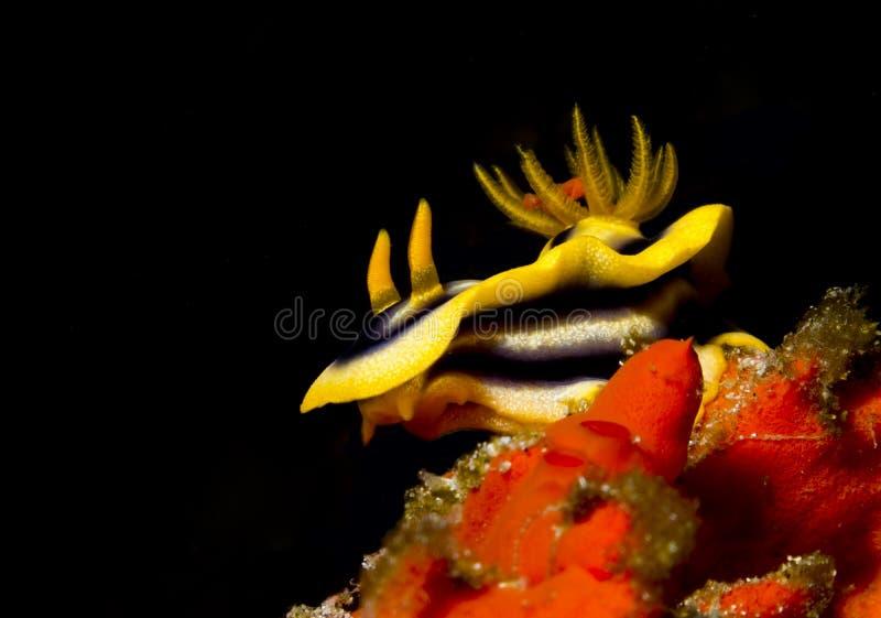 Chromodoris del Kuiter fotografia stock libera da diritti