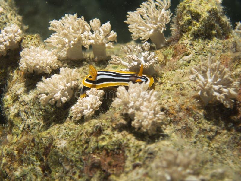 Chromodoris Magnifica Nudibranch und weiche Koralle stockbilder