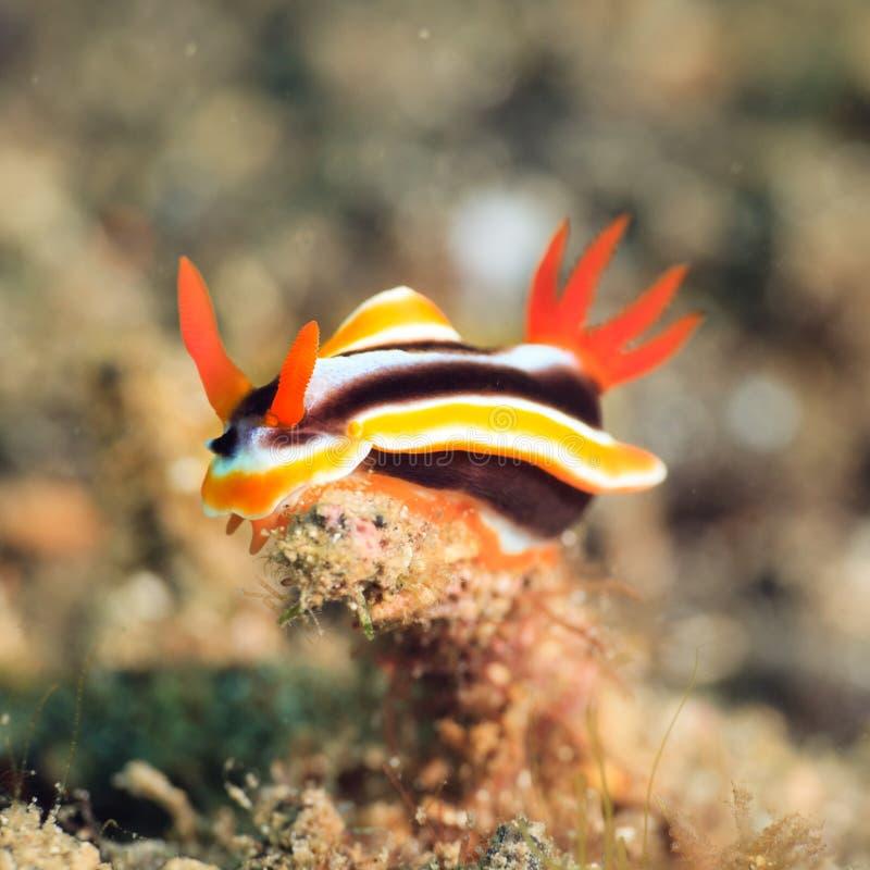 Chromodoris nudibranch Magnifica obrazy royalty free