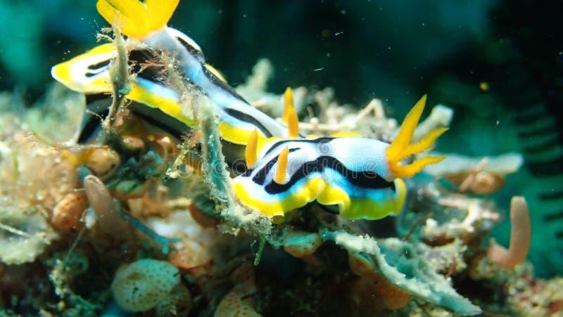 Chromodoris-strigata nudibranch in Anilao philippinisch lizenzfreie stockbilder