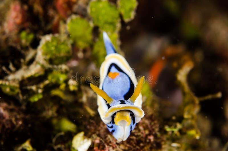 Chromodorisannae van vrij duiken lembeh Indonesië nudibranch onderwater royalty-vrije stock foto's