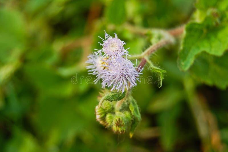 Chromolaena odorata porpora (fiore comune del filo di seta) fotografie stock