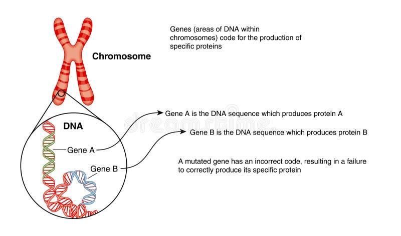 Chromosom und DNA lizenzfreie abbildung